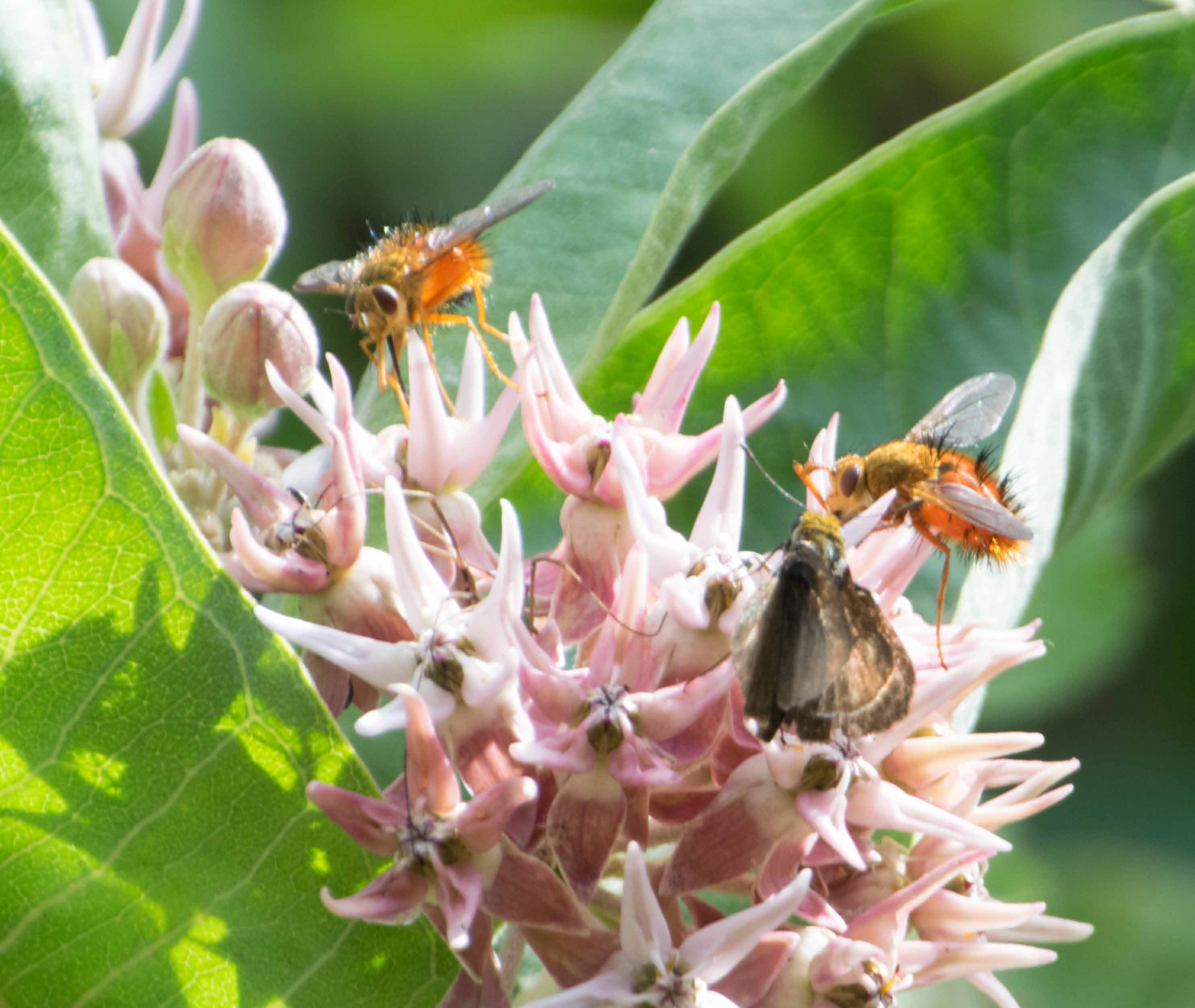 Native bees on Asclepias-13