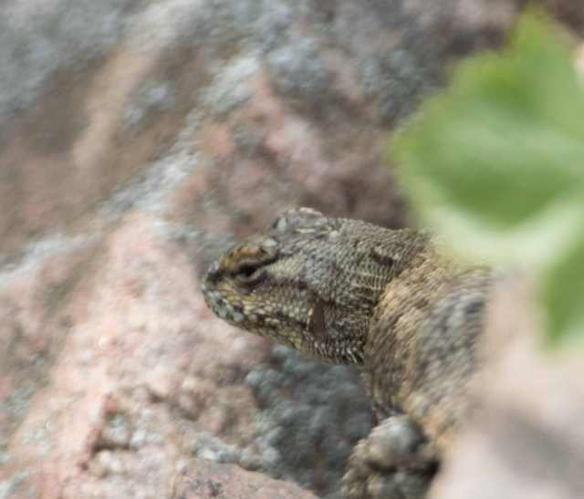 Side-blotched lizard maybe 1