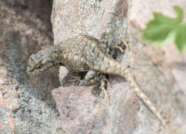 Side-blotched lizard maybe 3