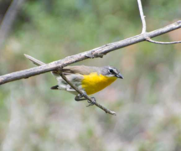 Yellow brested chat
