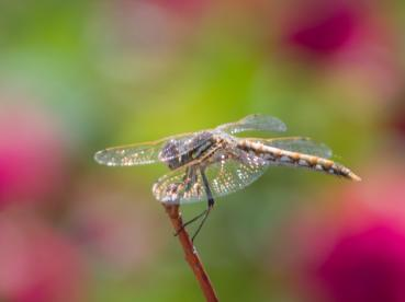 gold-dragonfly-1_edited-1