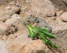 Pika with vegetation-15