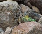 Pika with vegetation-16