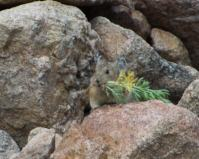 Pika with vegetation-16