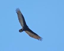 Turkey Vulture soaring-4_edited-1